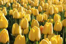 Free Yellow Tulips Royalty Free Stock Photos - 26176788