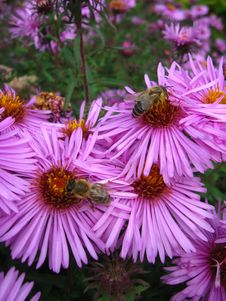 Free The Bees Sitting On The Asters Stock Photos - 26178123