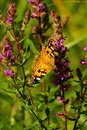 Free Painted Lady Butterfly &x28;Vanessa Cardui&x29; Stock Photos - 26184433