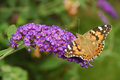 Free Open Winged American Lady Butterfly Royalty Free Stock Photography - 26185557