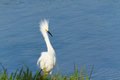 Free Snowy Egret Stock Images - 26189684