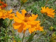 Free Bee On Yellow Cosmos Flower Stock Photography - 26180782