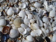 Free White Shells On The Beach Royalty Free Stock Photos - 26180818