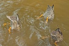 Free Three Female Mallard Ducks Feeding. Stock Images - 26188234