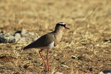 Free Crowned Plover - African Feathered Paint Stock Image - 26189871