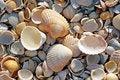 Free Sea Shells. Coast. Beach Stock Photos - 26198513