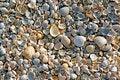 Free Sea Shells. Coast. Beach Stock Image - 26198531