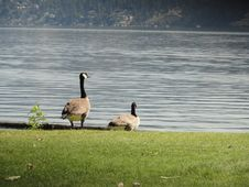Free Canadian Geese On Alert Royalty Free Stock Image - 26192456