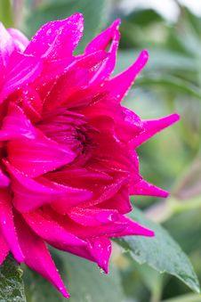Free Photo Of Garden Flowers Peony Royalty Free Stock Photos - 26192558