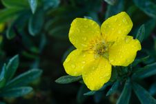 Free Photo Of Garden Flowers Cinquefoil Royalty Free Stock Image - 26192566