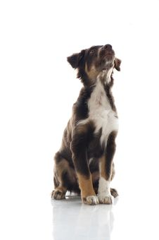 Free Australian Shepherd Dog Royalty Free Stock Photo - 26193095
