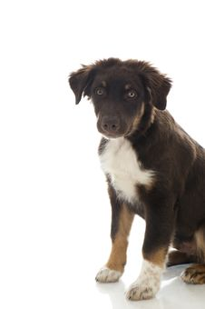 Free Australian Shepherd Dog Stock Images - 26193104