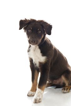 Free Australian Shepherd Dog Stock Photo - 26193110