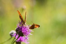 Free Flying Skipper And A Fritillary On A Thistle Royalty Free Stock Images - 26193279