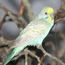 Free Budgerigar Bird Royalty Free Stock Photography - 26195677
