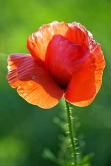 Free Single Red Poppy Stock Photo - 26197880