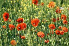 Free Poppy Field Royalty Free Stock Photography - 26197967
