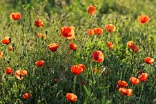 Free Red Poppy Royalty Free Stock Photo - 26197985