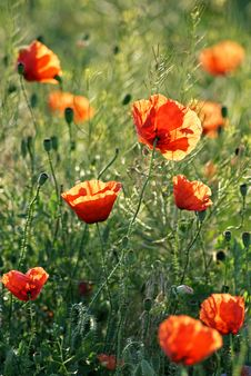 Free Poppy Field Royalty Free Stock Images - 26197989