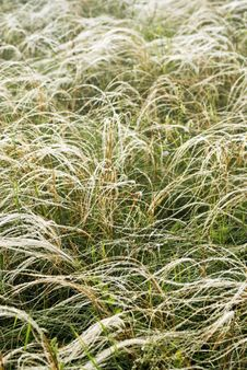 Feather Grass In Wind Royalty Free Stock Photography