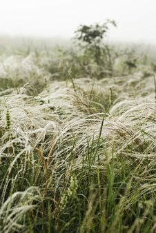 Feather Grass In Wind Stock Image