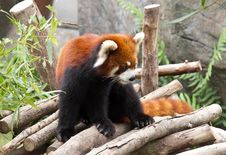 Free Red Panda. Stock Images - 26198314