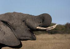 Free Elephant Drinking Stock Images - 26199924