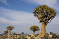 Free Quiver Tree Forest Stock Image - 26199971