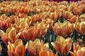 Free Tulips Stock Photos - 2620793