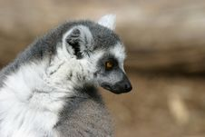 Free Curious Lemur Royalty Free Stock Image - 2621136