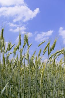 Free Green Wheat Ears Royalty Free Stock Image - 2621406