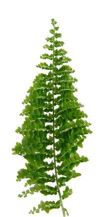 Mini Fern Leaf, Isolated Royalty Free Stock Photo