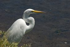 Free Great Egret In Bushes Royalty Free Stock Photo - 2621815