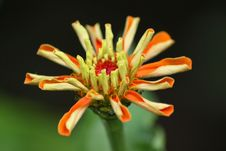 Free Orange Flower Royalty Free Stock Photos - 2621838