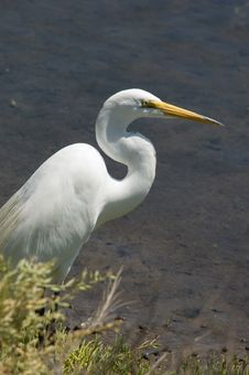 Free Great Egret Profile Royalty Free Stock Images - 2621859