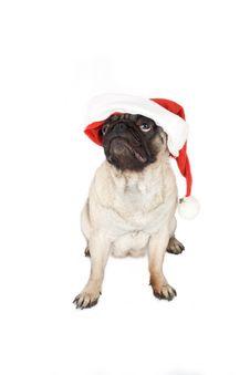 Free Pug In Santa Hat Royalty Free Stock Photos - 2622008