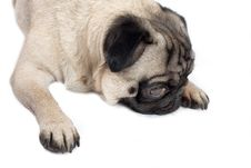 Free Pug Lying Down Stock Images - 2622044