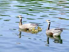 Free Canadian Gooses Stock Image - 2622161