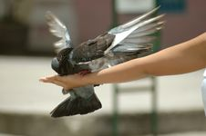 Free Pigeon In Hand Royalty Free Stock Photography - 2623087