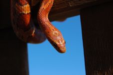 Free Dangling Corn Snake Royalty Free Stock Photo - 2624105