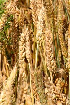 Yellow Golden Grain Royalty Free Stock Images