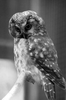 Free Owl Royalty Free Stock Photo - 2625735