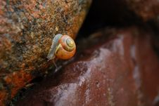 Free Snail On Stone Royalty Free Stock Images - 2626139