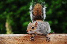 Free Wild Beautiful Squirrel Royalty Free Stock Images - 2626169