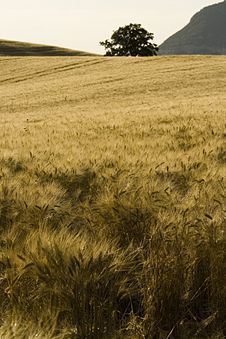 Free Cornfield Royalty Free Stock Photography - 2626247