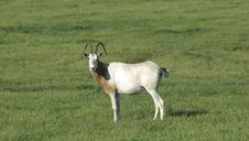 Free Scimitar Horned Oryx Royalty Free Stock Image - 2626266