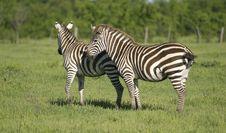 Grant S Zebra Stock Photo