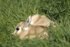 Free Baby Scimitar Horned Oryx Stock Photography - 2626272
