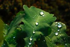 Free Leaf With Waterdrops Royalty Free Stock Image - 2626646