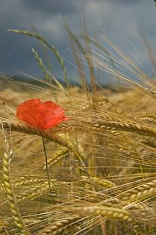 Free Poppies And Corn Royalty Free Stock Photo - 2626715